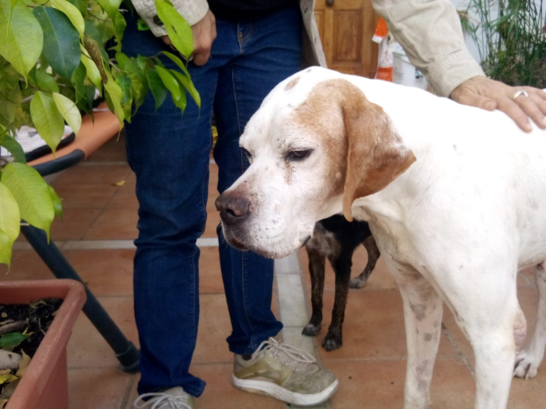 English Pointer Rescue Dogs Uk
